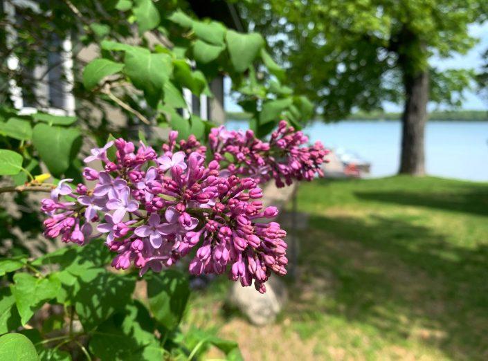 2021 Lilacs at Pauls Paradise Cottages